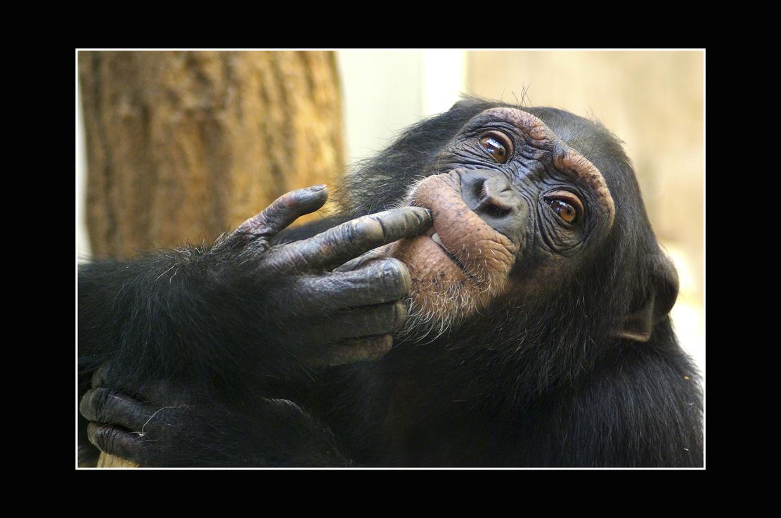 Babics László::csimpánz