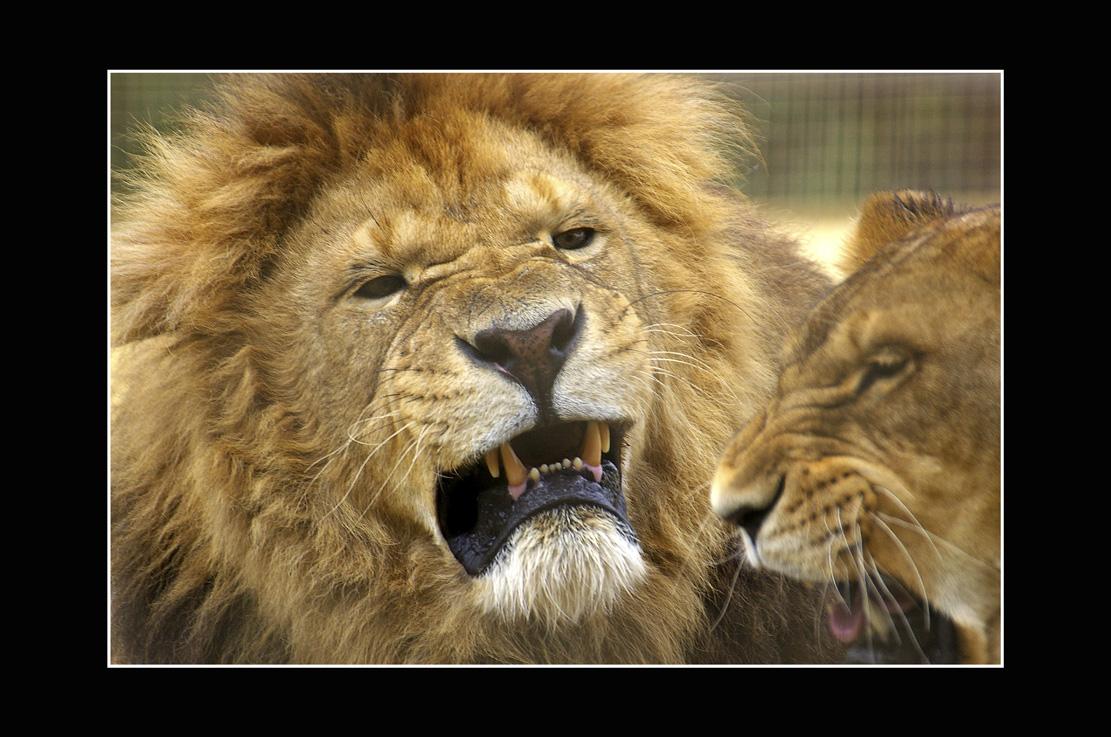 Babics László::oroszlánok