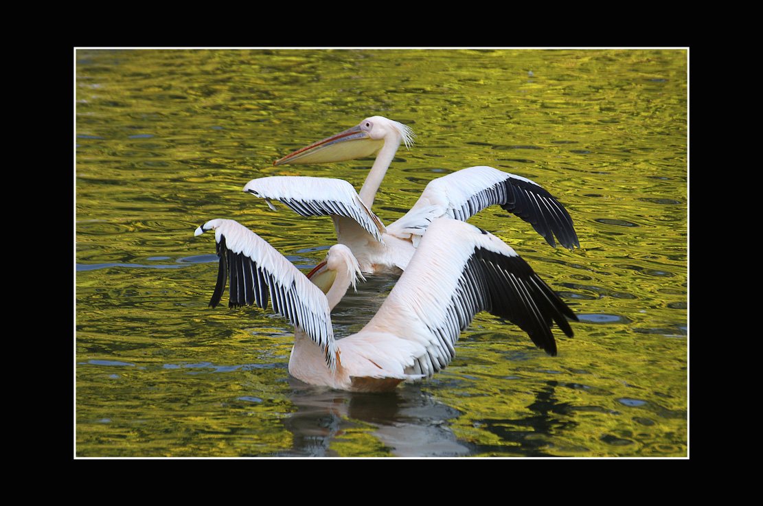 Babics László::pelikánok