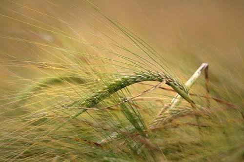 Éltető gabona kalász