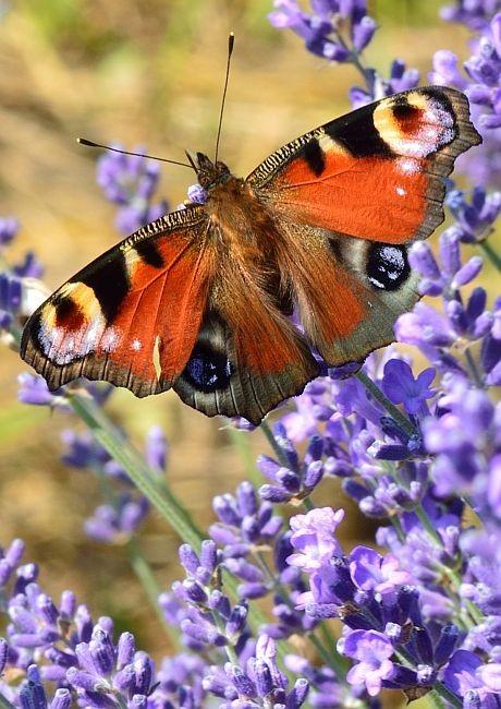 Pillangó a Levendulásban
